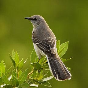 state-bird-mockingbird-mississippi-united-states+1152_12994621118-tpfil02aw-27629