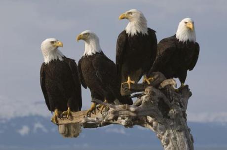 bald_eagles-439