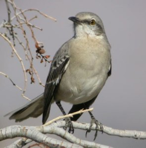The state songbird of Mississippi, the mockingbird