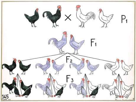 Genetics-Educational-plate-Chickens